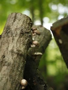 mushroom-log2-267x355